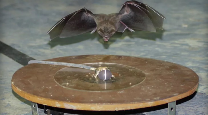 Bats upgrading their hunting strategy to the noise of cities