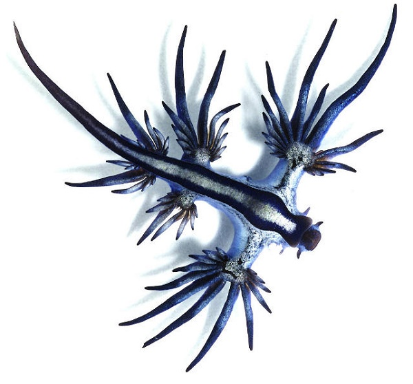 Blue Dragon A Rare Sea Slug Washes Up on Shore in Queensland, Australia