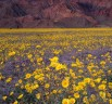 The Death Valley in California experiencing super bloom after a huge gush of rainfall